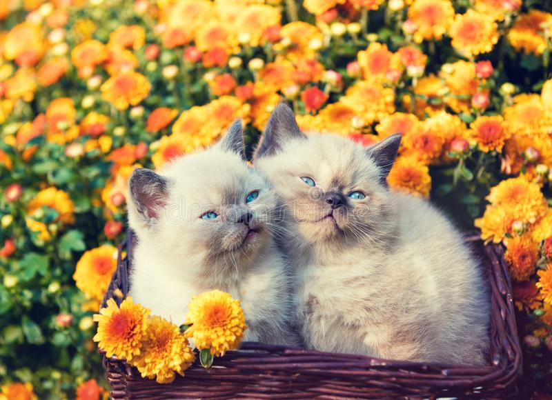 Två lilla kattungar som sitter i en korg nära orange blommor royaltyfria bilder