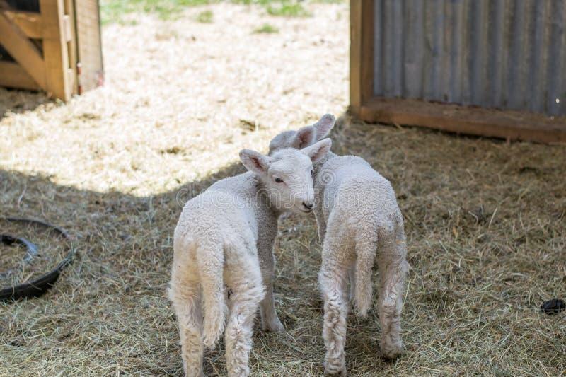 Två lilla lamm i en ladugård royaltyfria foton