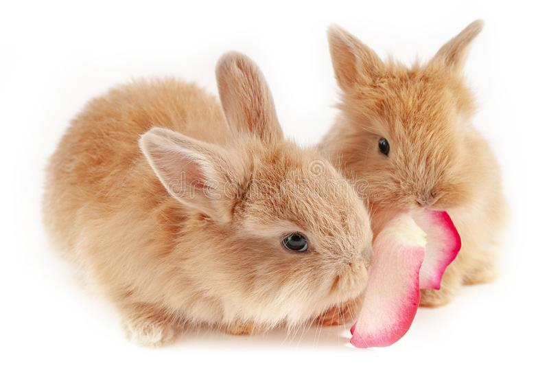 Två lilla röda kaniner tuggar ros-kronbladet isoleras på vit bakgrund royaltyfri bild