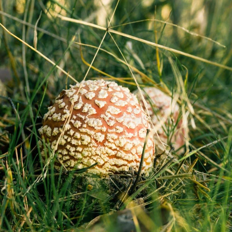 Två lilla röda prickiga giftsvampar växer på sida av banan i gräs royaltyfri foto
