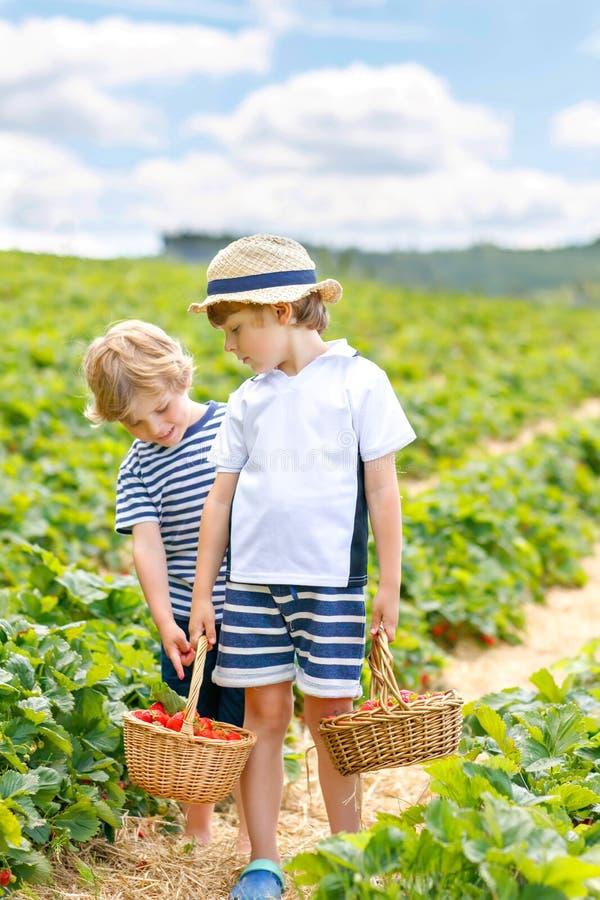 Två lilla siblingungepojkar som har gyckel på jordgubbelantgård i sommar Barn som är gulliga kopplar samman att äta sund organisk royaltyfri bild
