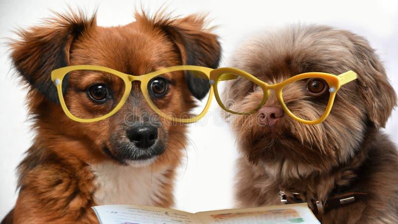 Två lilla valphundkapplöpning som läser en bok royaltyfria foton
