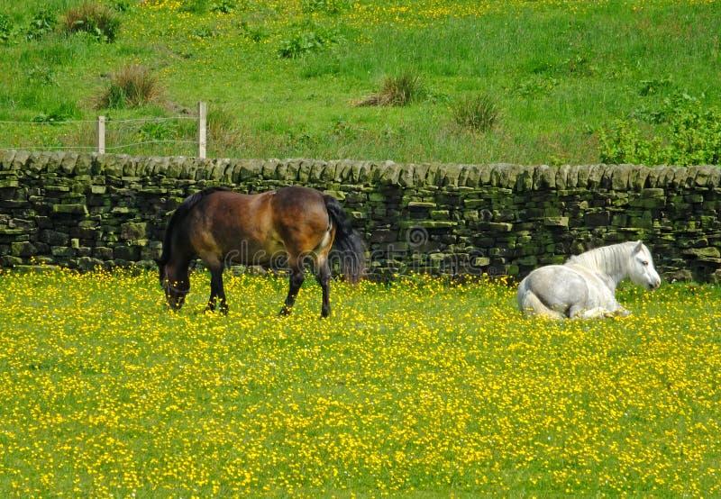 Två lilla vita och bruna ponnyer som betar i ett fält av den gula våren, blommar mot en stenvägg framme av en äng royaltyfri fotografi