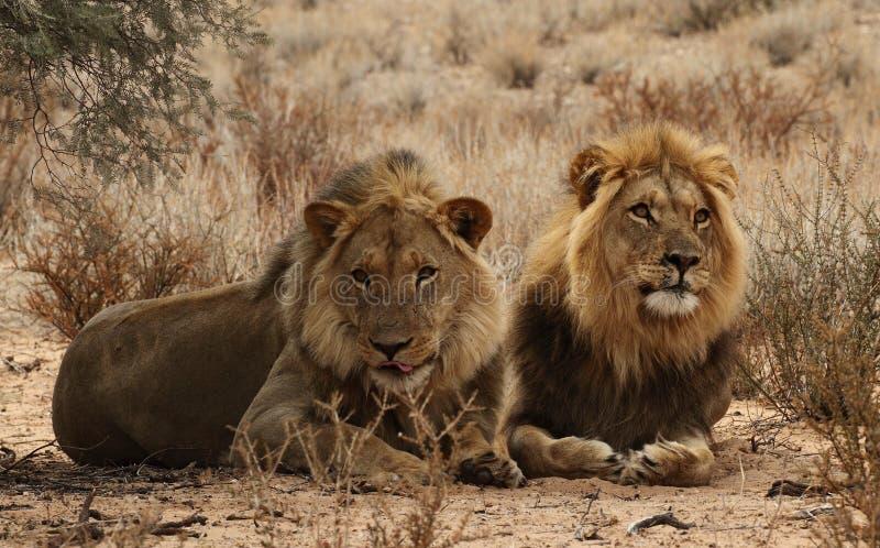 Två lionbröder i Kgaligadien 3 royaltyfria foton