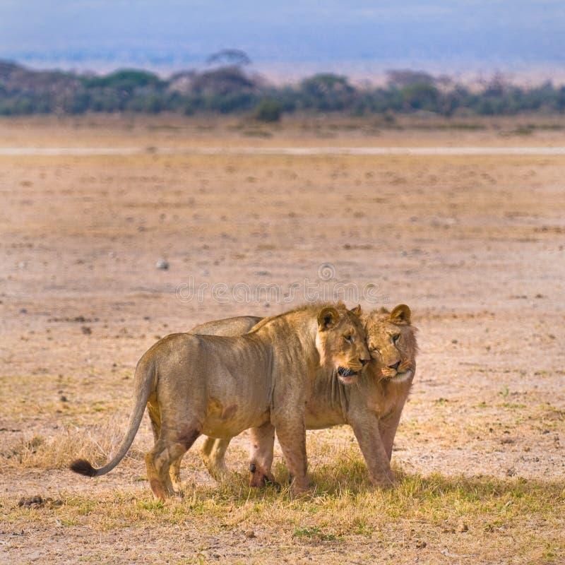 Två lions royaltyfria bilder