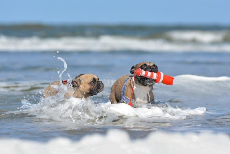 Två lismar den franska bulldoggen på feriehundkapplöpning som spelar för att hämta med en maritim hundleksak bland vågor i havet royaltyfri foto