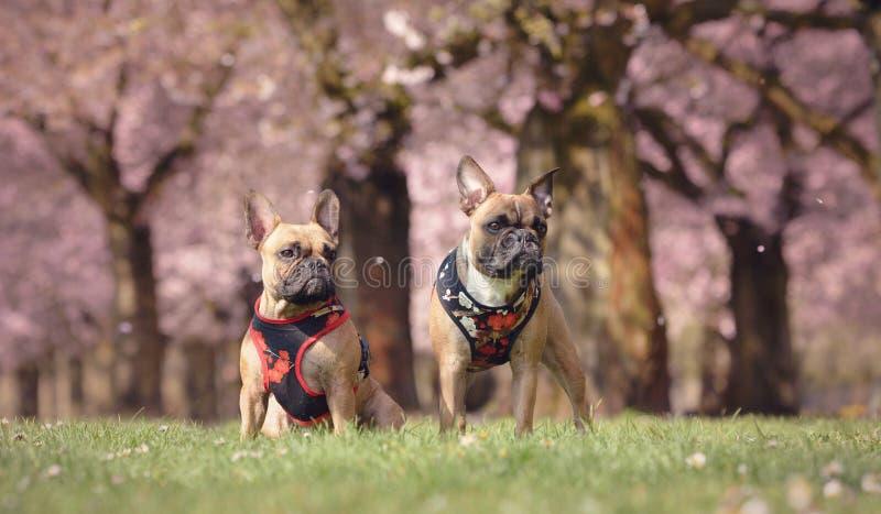 Två lismar den franska bulldoggen som hundkapplöpningen med blom- exploaterar framme av härliga rosa träd för körsbärsröd blomnin arkivfoton