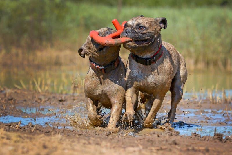 Två lismar hundkapplöpning för den franska bulldoggen som spelar för att hämta med en leksak tillsammans i gyttjan, all som täcka royaltyfri fotografi