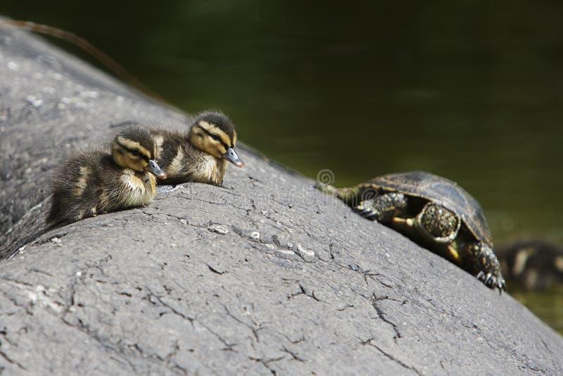 Två liten ankunge och sköldpadda arkivbilder