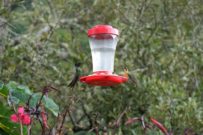 Två ljusa kolibrier som sitter på de motsatta sidorna av en förlagematare royaltyfri bild
