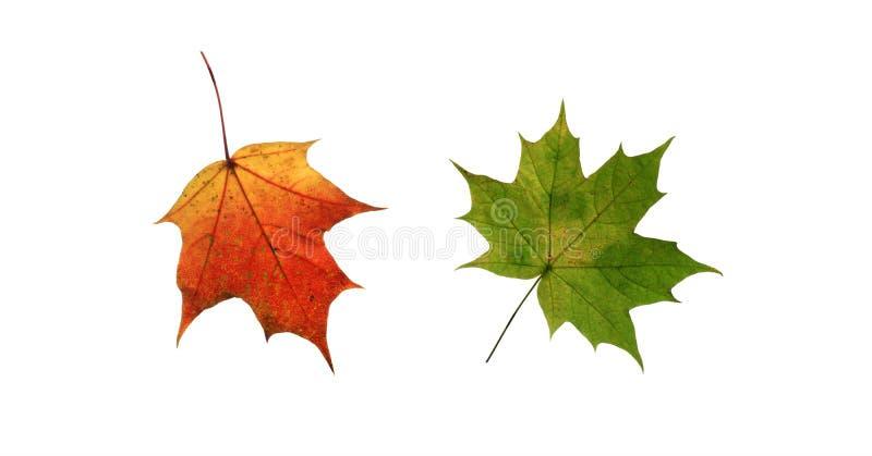 Två ljust färgad guld, gräsplan, röd kanadensisk lönnlöv fotografering för bildbyråer