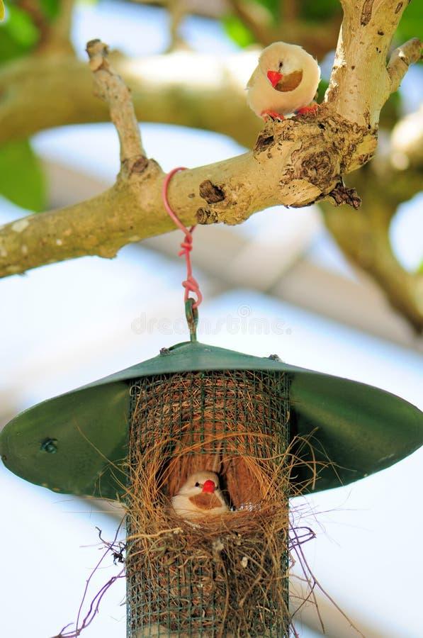 Två long-tailed finches & rede royaltyfri foto
