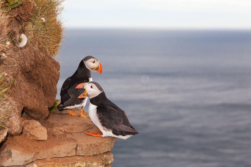 Två lunnefågelfåglar mot havet i Island royaltyfri foto