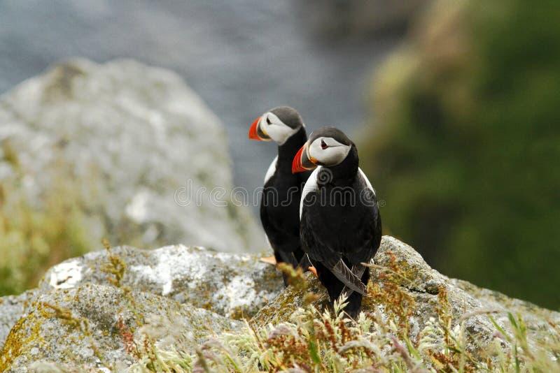 Två lunnefåglar som sitter på klippan, fågel, i att bygga bo kolonin, den arktiska svartvita gulliga fågeln med den colouful näbb arkivbilder
