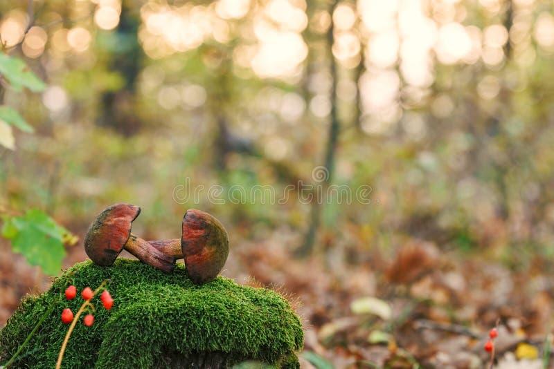 Två Lurid sopp för ätliga champinjoner på mossa i höstskog på bakgrund för solnedgångnärbildnatur royaltyfria foton