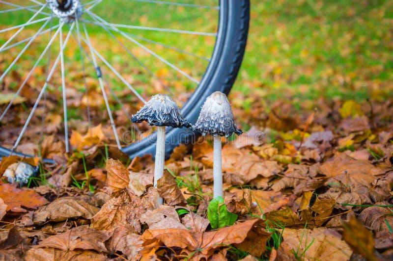 Två lurviga manchampinjoner bland torra gula sidor och en cykel rullar in bakgrunden i höstplats arkivfoton