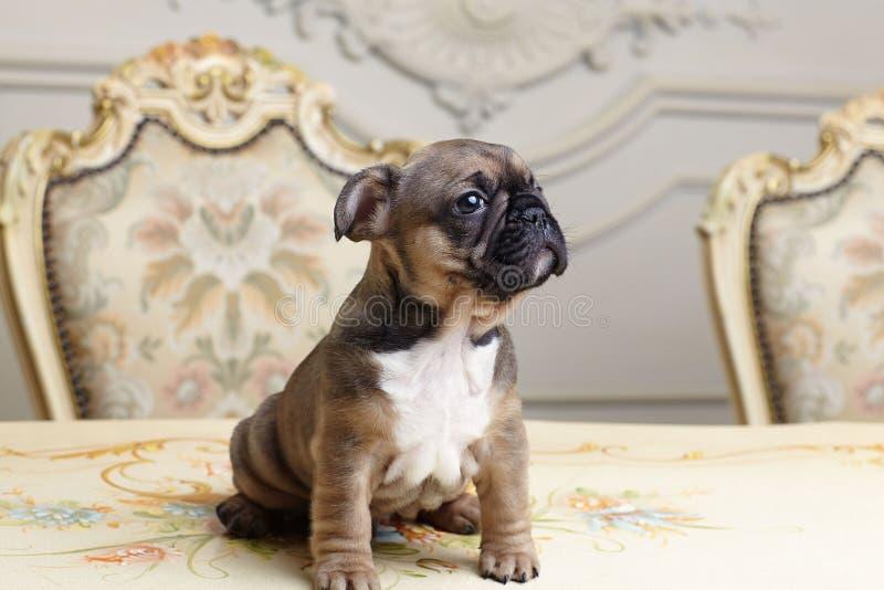 Två månad bulldoggvalp royaltyfria bilder