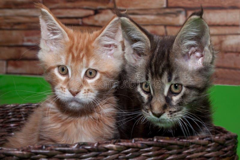 Två maine tvättbjörnkattungar sitter i en vide- korg royaltyfria bilder