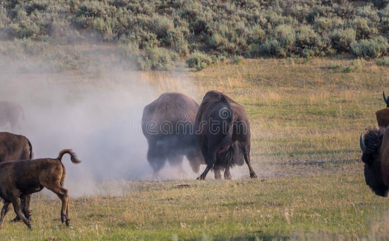 Två man Bison Spar arkivbild