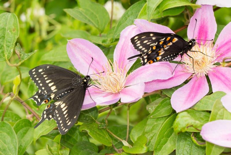 Två manliga östliga svarta Swallowtail fjärilar arkivbild