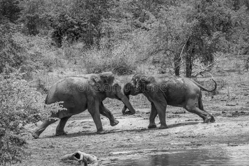 Två manliga lösa elefanter som slåss i det löst, Udawalawa, Sri Lanka royaltyfria foton
