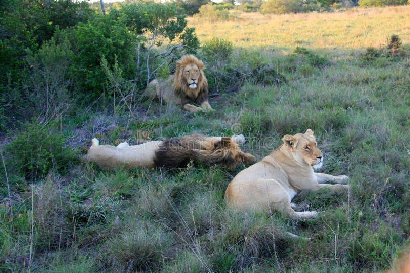 Två manliga lejon och kvinnligt ligga på gräs i Sydafrika arkivbild