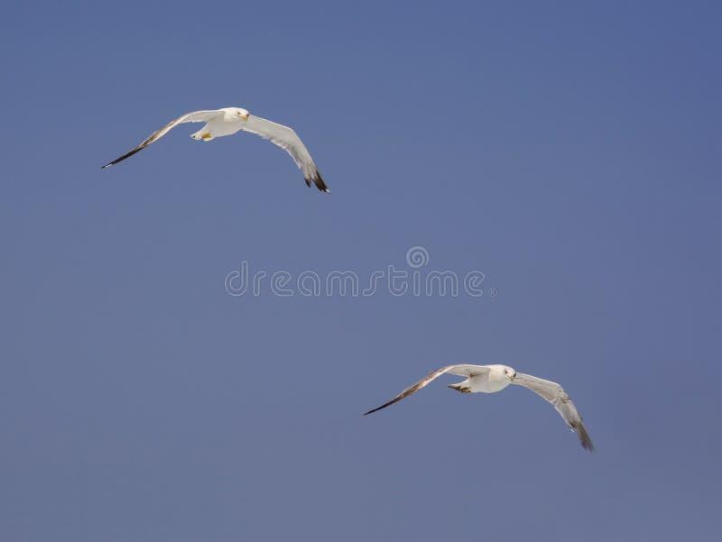 Två medelhavs- seagulls på blå himmel arkivbild