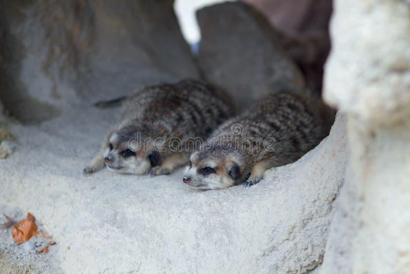 Två meerkats som ligger i ett hål arkivbilder