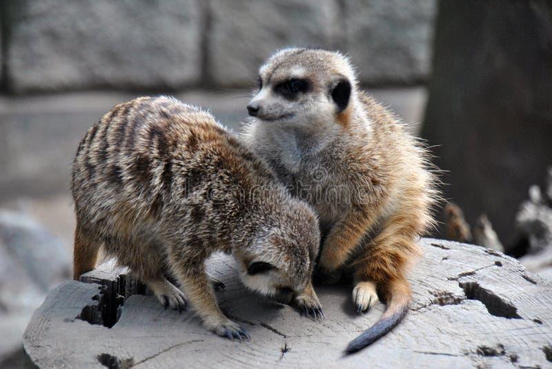 Två meerkats som spelar utanför på ett stycke av trä arkivbilder