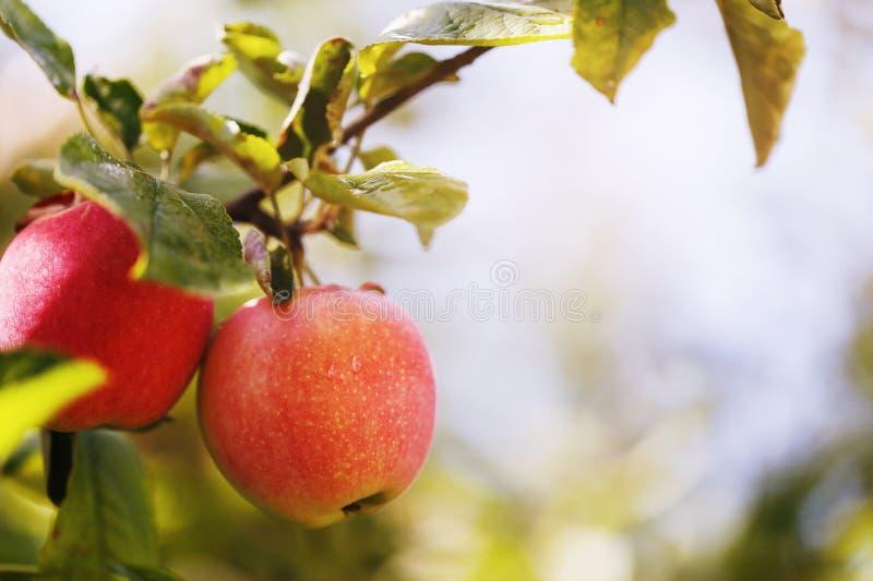 Två mogna äpplen på en filial arkivfoton