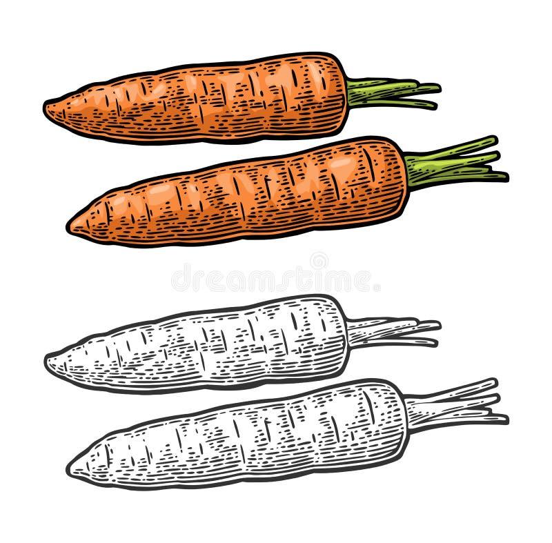 Två morötter Inristad illustration för vektorfärg som tappning isoleras på vit bakgrund stock illustrationer