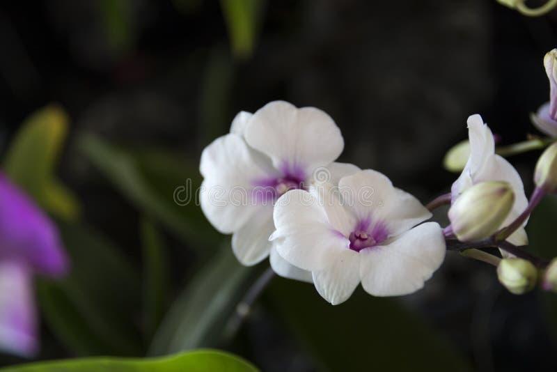 Två mycket lilla vita orkidéblommor royaltyfria bilder
