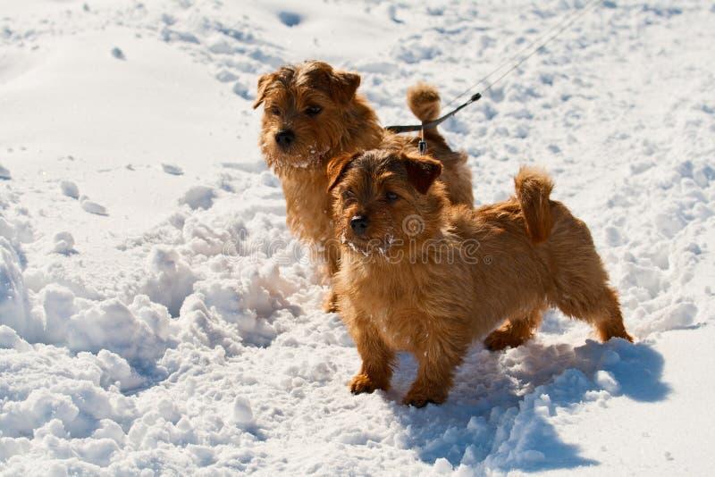 Två Norfolk Terriers royaltyfria foton