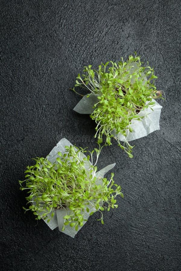 Två nya mikrogräsplaner för ätliga pepparkakor, sund mat och detoxification royaltyfria foton