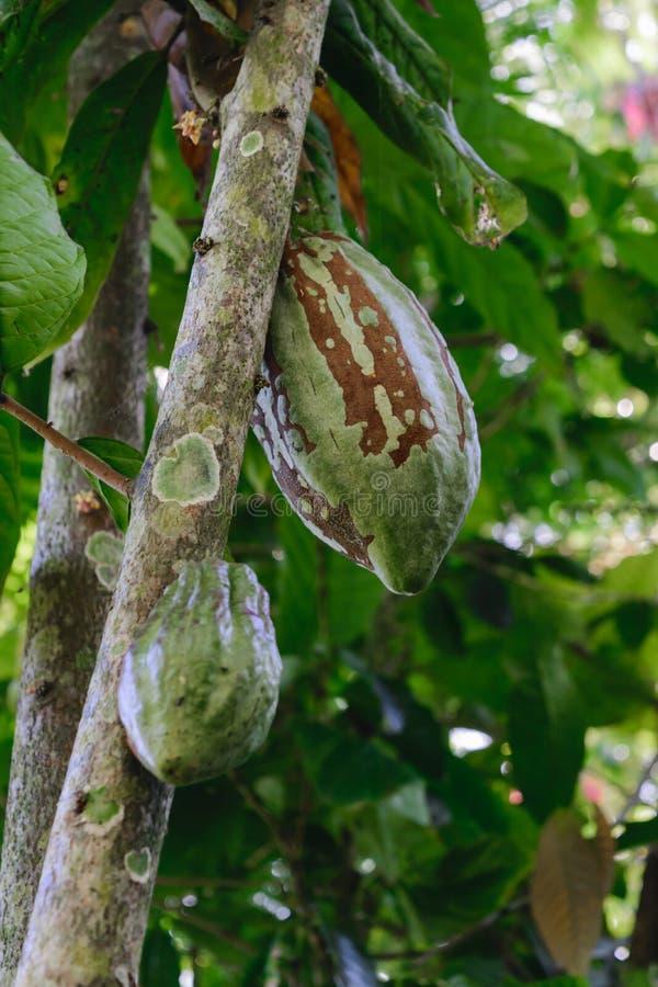 Två omogna gröna kakaobönor som hänger på träd royaltyfri foto