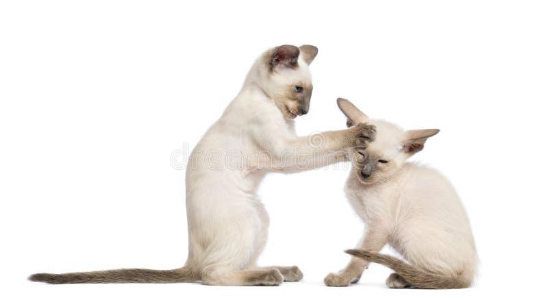 Två orientaliska Shorthair kattungar, 9 gammala veckor arkivbild
