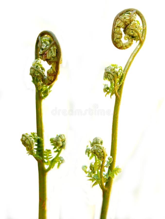 Två ormbunkeormbunksblad på vit arkivbild
