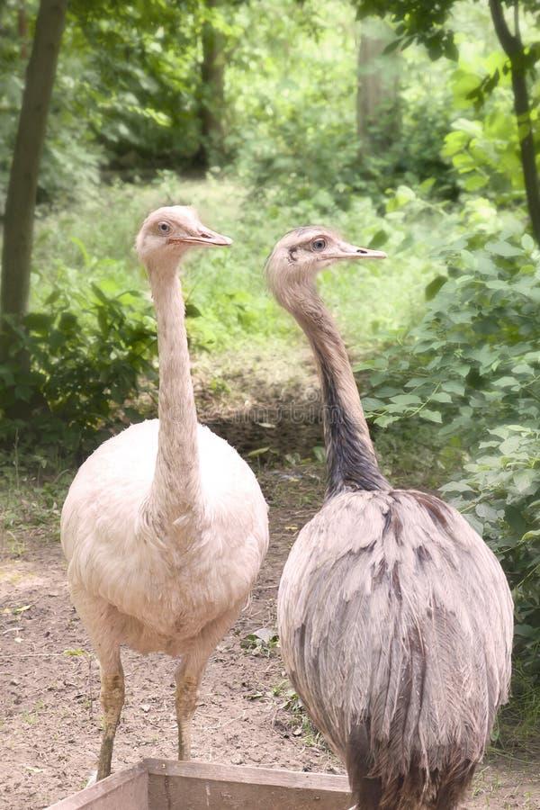 Två ostriches arkivbilder
