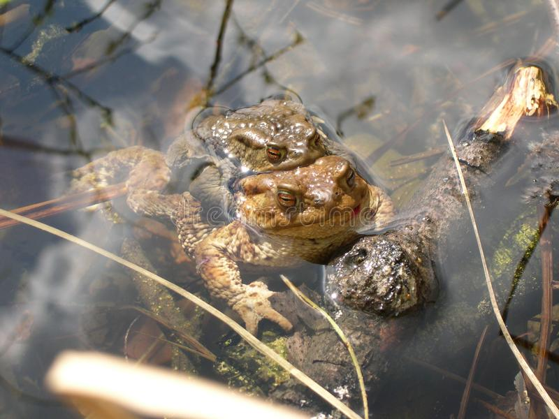 Två paddor som parar ihop i vattnet royaltyfri fotografi