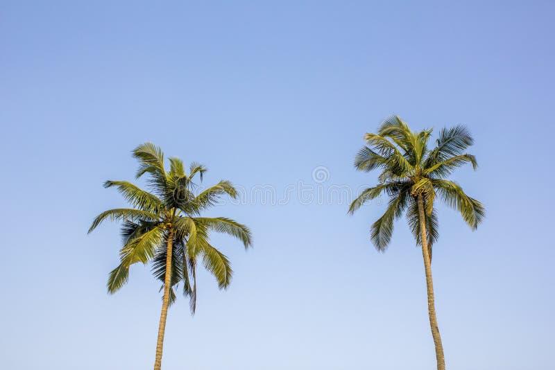 Två palmträd med ljust - gröna sidor mot en ren blå himmel arkivfoto
