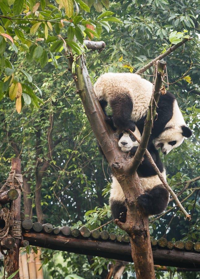 Två pandabjörngröngölingar som spelar i trädöverkant på Chengdu forskning, baserar Kina royaltyfria foton