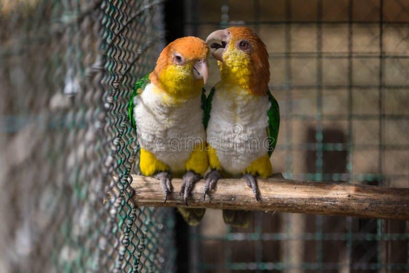 Två papegojor eller förälskade förälskelsefåglar kysser sig men har ingen frihet som de är i fågelbur royaltyfria bilder