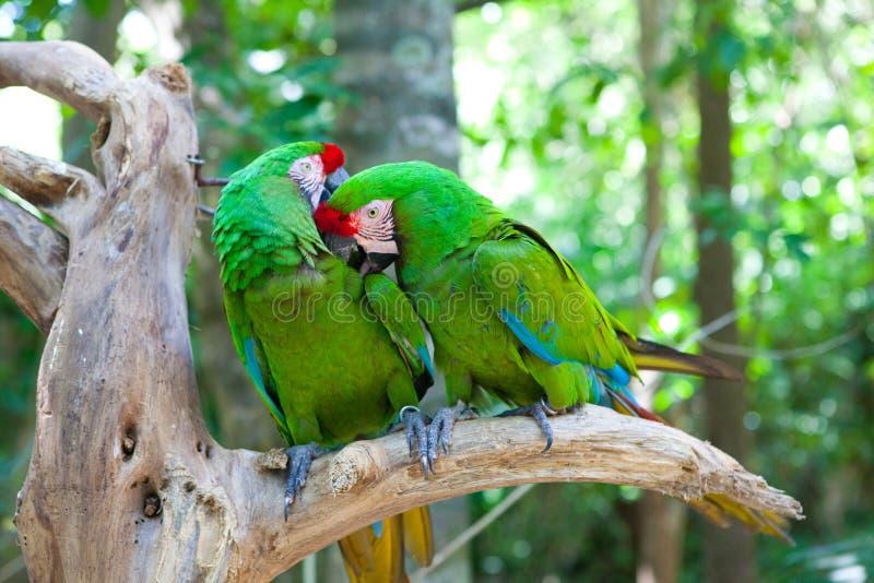 Två papegojor på en tree arkivbilder