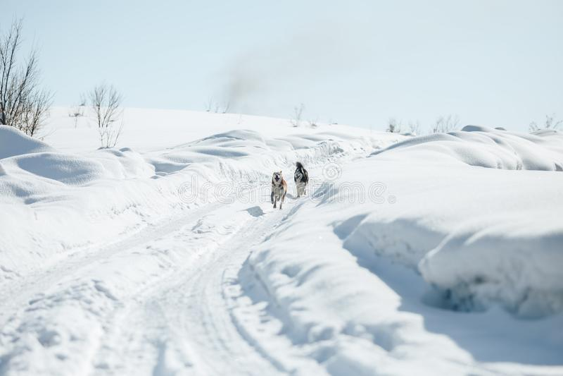 Två parkerar rolig lycklig Siberian Husky Dogs Running Together Outdoor i snöig på Sunny Winter Day le för hund Den aktiva hundka royaltyfri bild