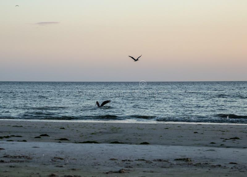 Två pelikan, en som dyker in i vattnet, jakt för fisk i Guen royaltyfri fotografi