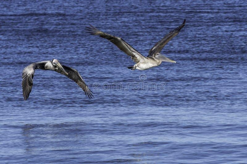 Två pelikan i flykten över vatten royaltyfri bild