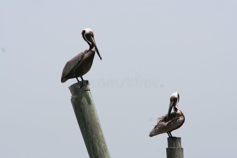 två pelikan sätta sig på att trava för trä som isolerades med himmel royaltyfria foton