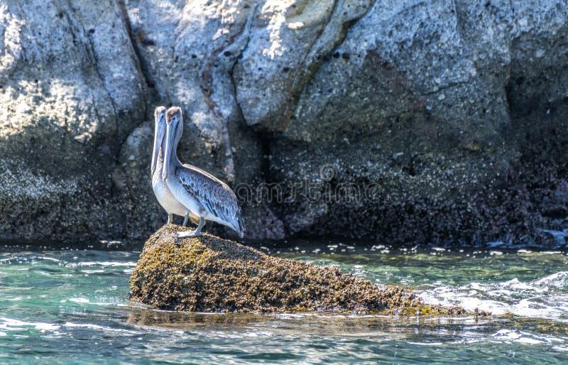 Två pelikan som står på havreven royaltyfri fotografi