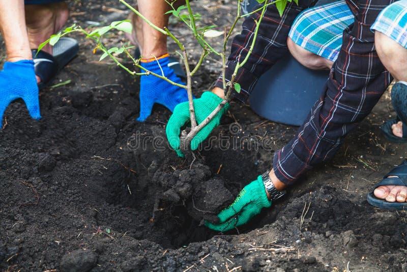 Två personer är transplanterade mogna buskerosor royaltyfria bilder