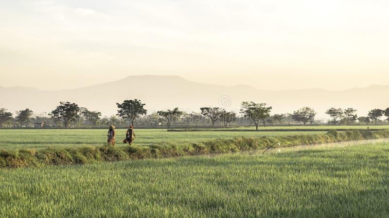 Två personer som bonden som går i mitt av den mycket vidsträckta, breda, omfattande rymliga risfältet arkivfoto